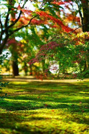 Autumn maple tree in Japanese park