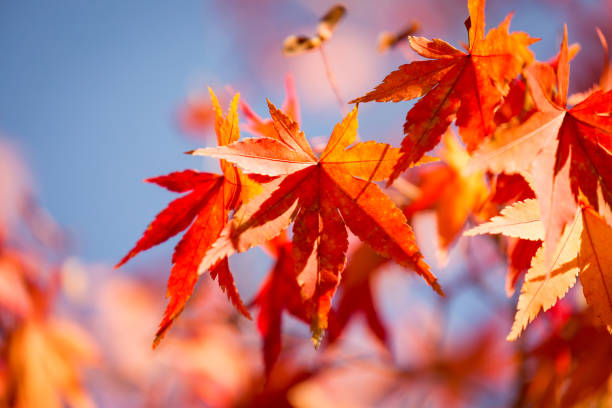 Autumn maple tree leaves Closeup autumn maple tree leaves with blue sky background lake kawaguchi stock pictures, royalty-free photos & images