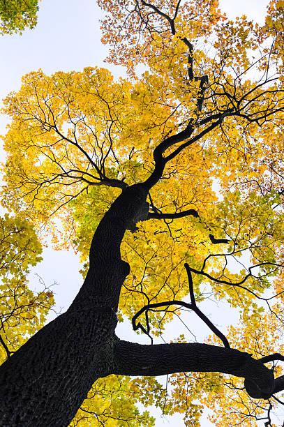 Autumn Maple Tree stock photo