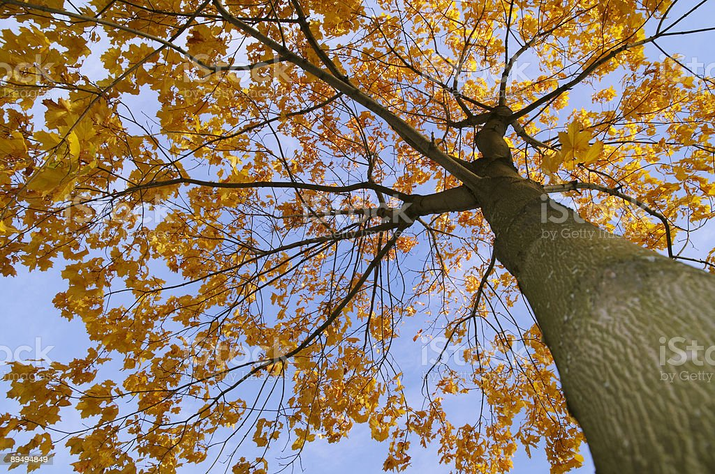 autumn maple tree royalty-free stock photo