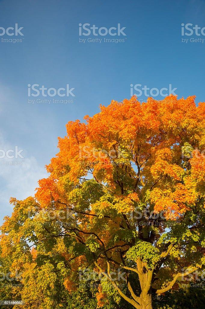 Herbst Ahorn Bäume Lizenzfreies stock-foto