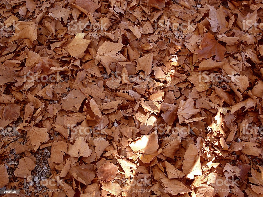 Autumn Maples royalty-free stock photo