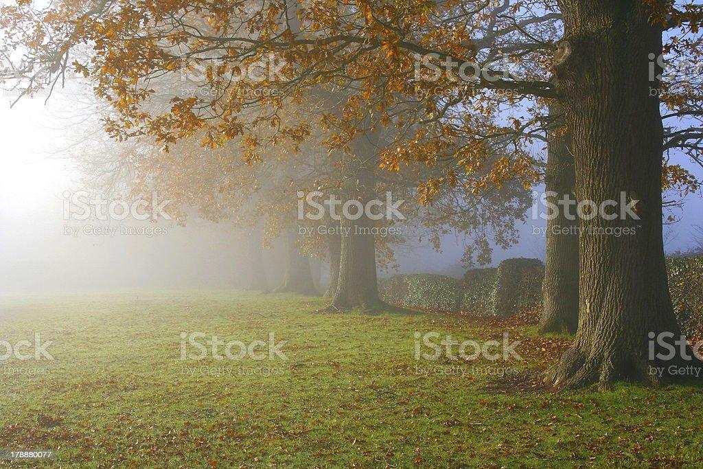 Autumn Mist Oak Trees royalty-free stock photo