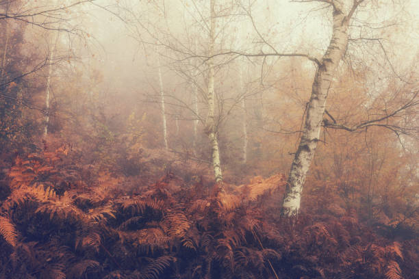 Herbst nebligen Hintergrund, Birkenhain und Farn – Foto