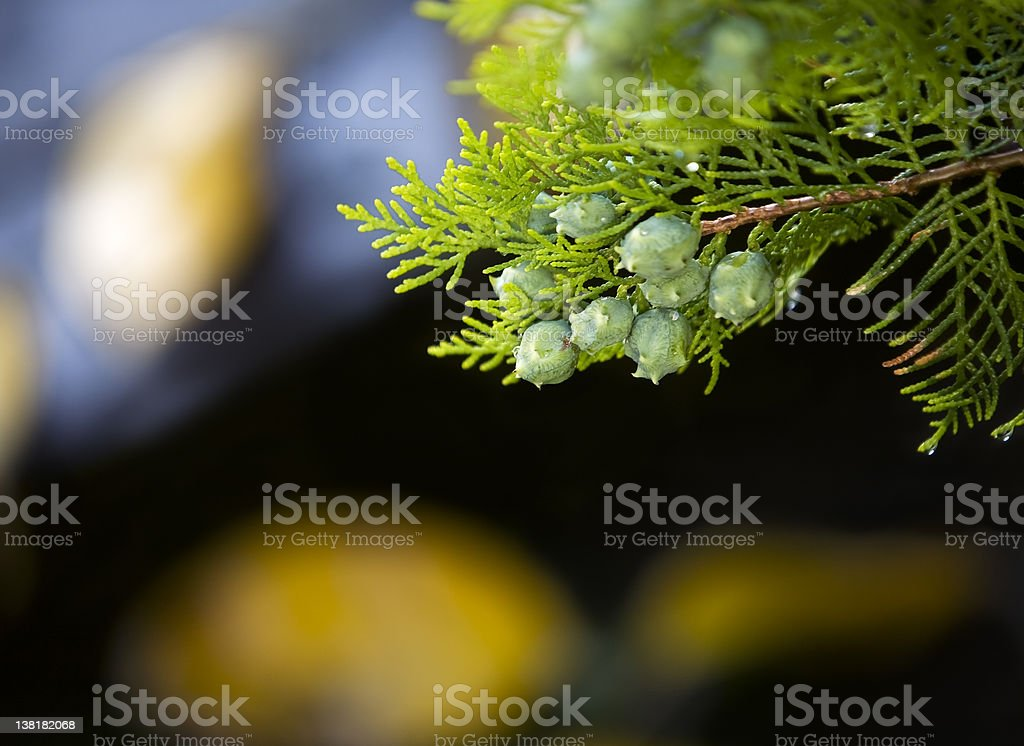 Autumn mood- cypress branch detail royalty-free stock photo