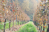 Autumn colors of vineyards. Colorful autumn leaves. Autumn vineyards at sunrise.