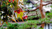 Fresh colorful autumn leaves, with rain drops hanging in close up focus while distant tree out of focus in the background, Takayama, Japan.
