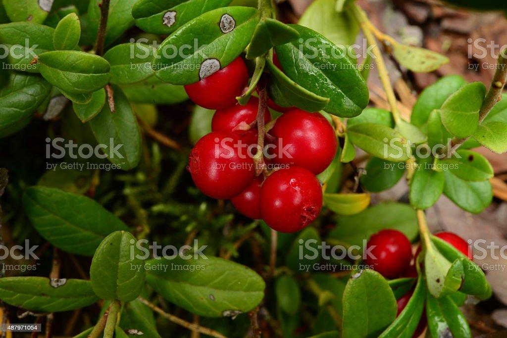 Autumn morning dew on berries cranberries stock photo