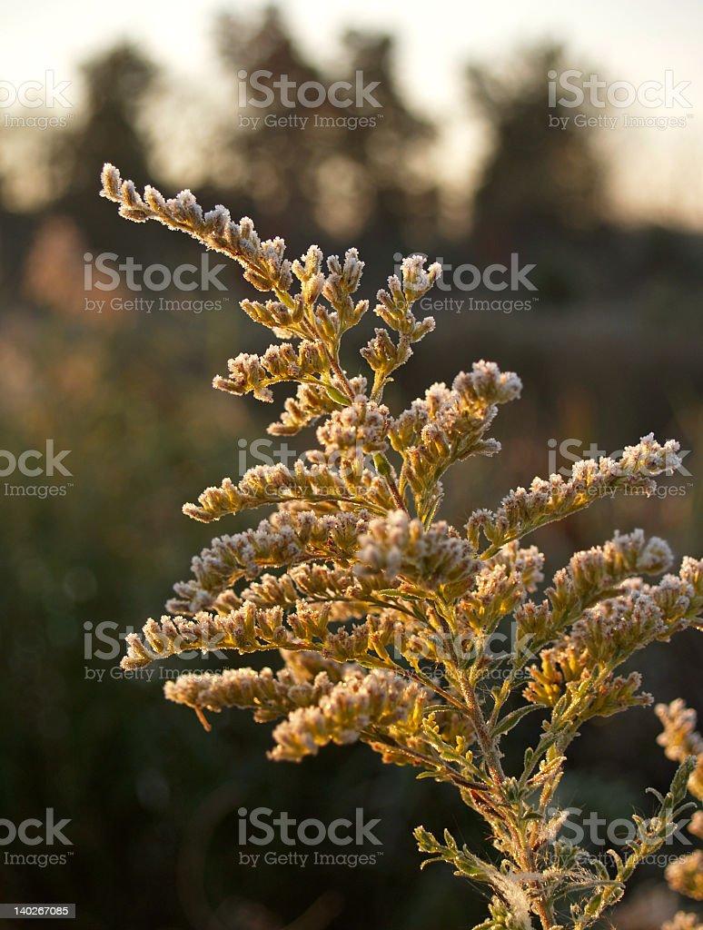 Autumn Morning Frost on Goldenrod Flower (Solidago virgaurea) stock photo