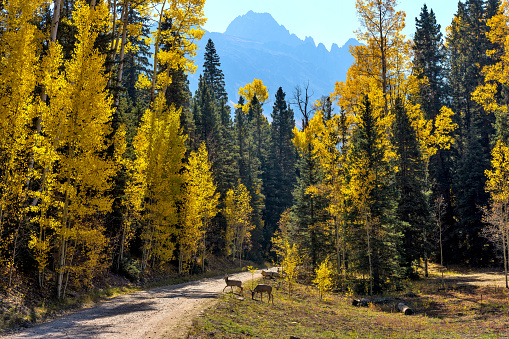 Two young mule deer wandering crossing a backcountry road in a dense Autumn forest at base of rugged Sneffels Range. Uncompahgre National Forest, Ridgway-Telluride, CO, USA.