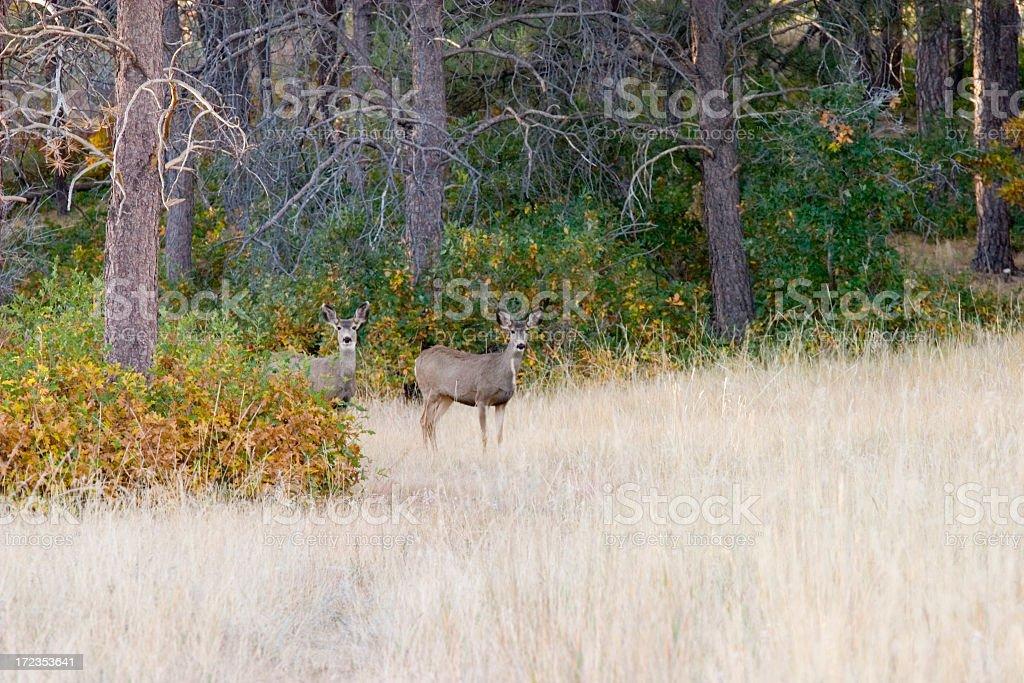 Autumn Mule Deer Herd royalty-free stock photo