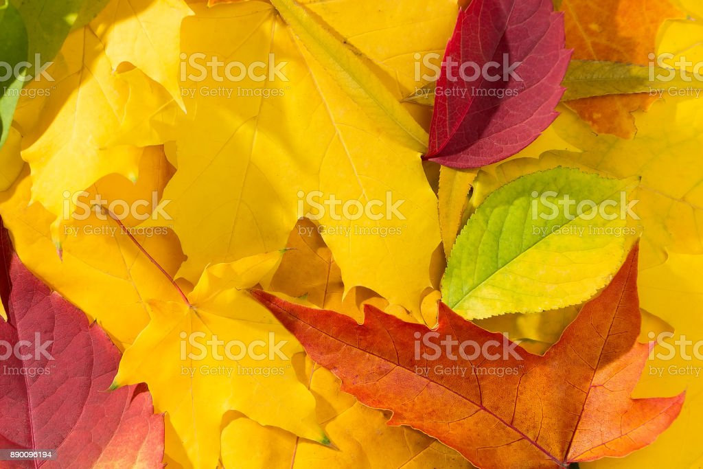 Autumn multicolor dry maple-leafs background stock photo