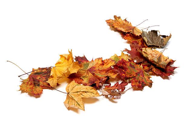 Autumn multicolor maple leafs - foto stock