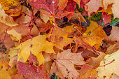 This Pic shows Red and orange autumn leaves background. Outdoor. Colorful backround image of fallen autumn leaves which can be use as background.