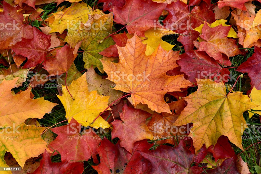 Autumn. Multicolored fallen leaves.
