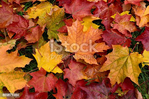 istock Autumn. Multicolored fallen leaves. 859871484