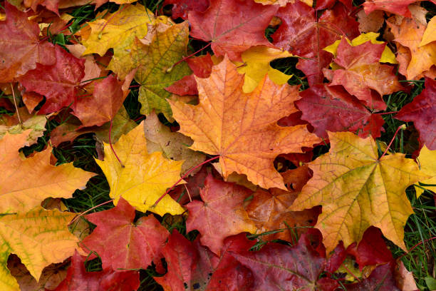 autumn. multicolored fallen leaves. - leaf imagens e fotografias de stock