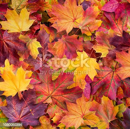 istock Autumn. Multicolored maple leaves lie on the grass. 1050050394