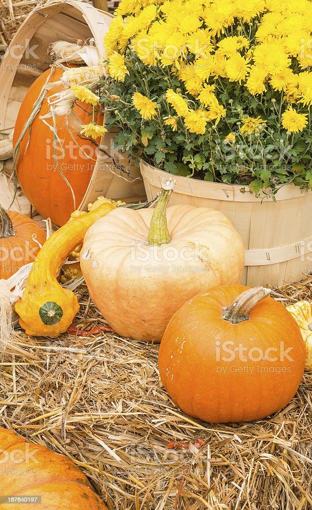 Autumn Mums and Pumpkins royalty-free stock photo