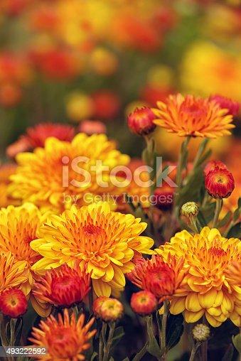 istock Autumn Mums or Chrysanthemums in bloom 493222592