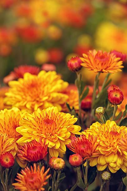 autumn mums or chrysanthemums in bloom - chrysant stockfoto's en -beelden