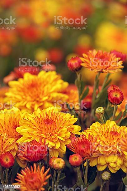 Photo of Autumn Mums or Chrysanthemums in bloom