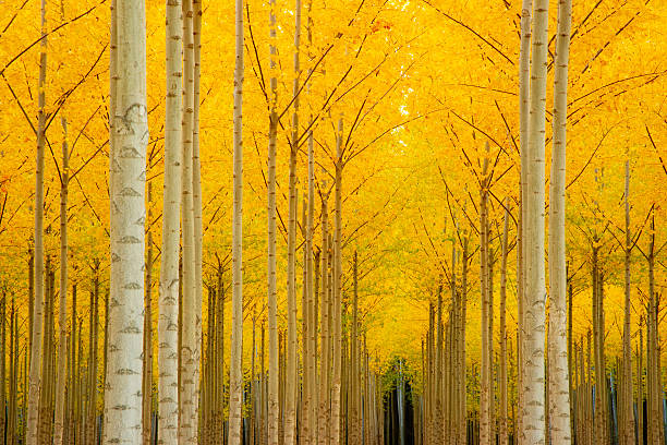 Autumn Natural Season Ablaze in Yellow Color Horizontal Trees A stand of trees closely gathered with leaves ablaze in fall color. ablaze stock pictures, royalty-free photos & images