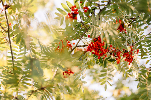 Autumn nature background rowan tree with many berries