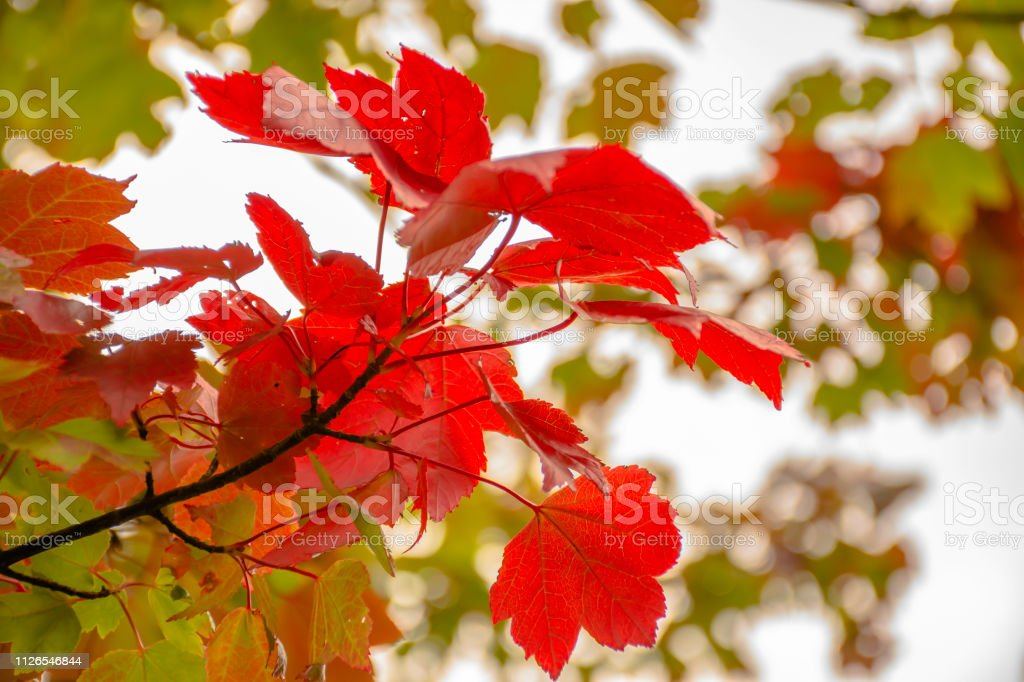 Maple tree branch with red leaves in autumn colored woodland.Nature...