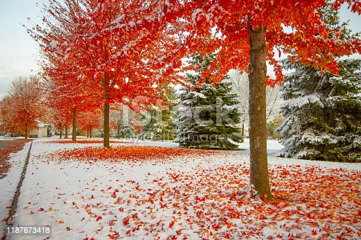 Autumn neighborhood with snow, stunning red trees ablaze with fall colors, red leaves on top of snow.