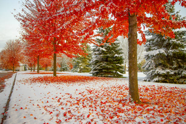 Autumn neighborhood with snow, stunning red trees ablaze with fall colors Autumn neighborhood with snow, stunning red trees ablaze with fall colors, red leaves on top of snow. ablaze stock pictures, royalty-free photos & images