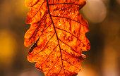 Autumn oak leaf close up on blurred yellow orange background