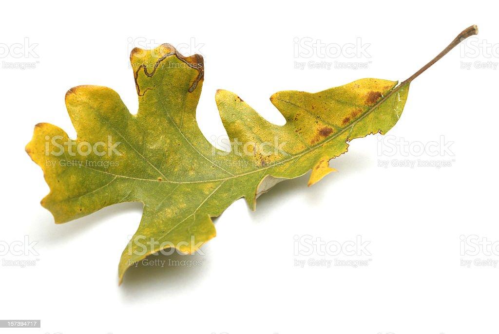 autumn oak leaf on white royalty-free stock photo
