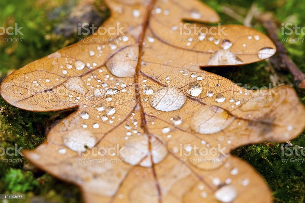 Autumn oak leaf with dew drops stock photo