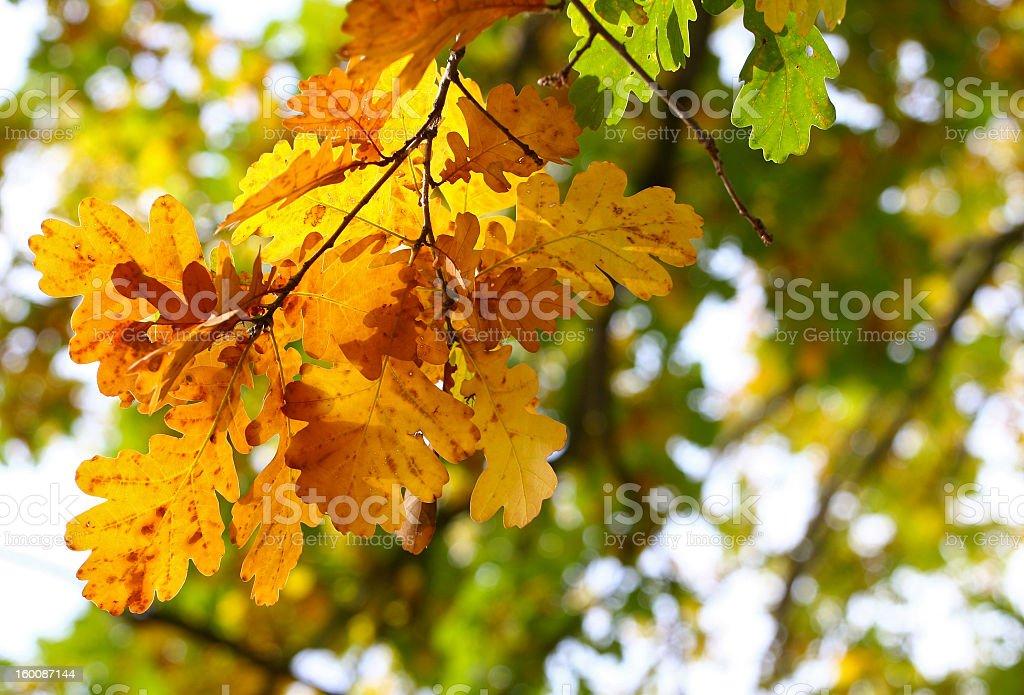 Autumn oak leafs royalty-free stock photo