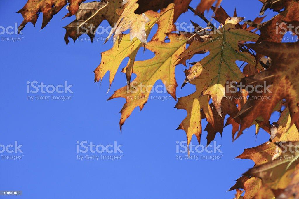 Autumn oak leaves branch royalty-free stock photo