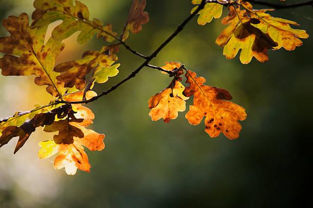 Automne feuilles de chêne - Photo