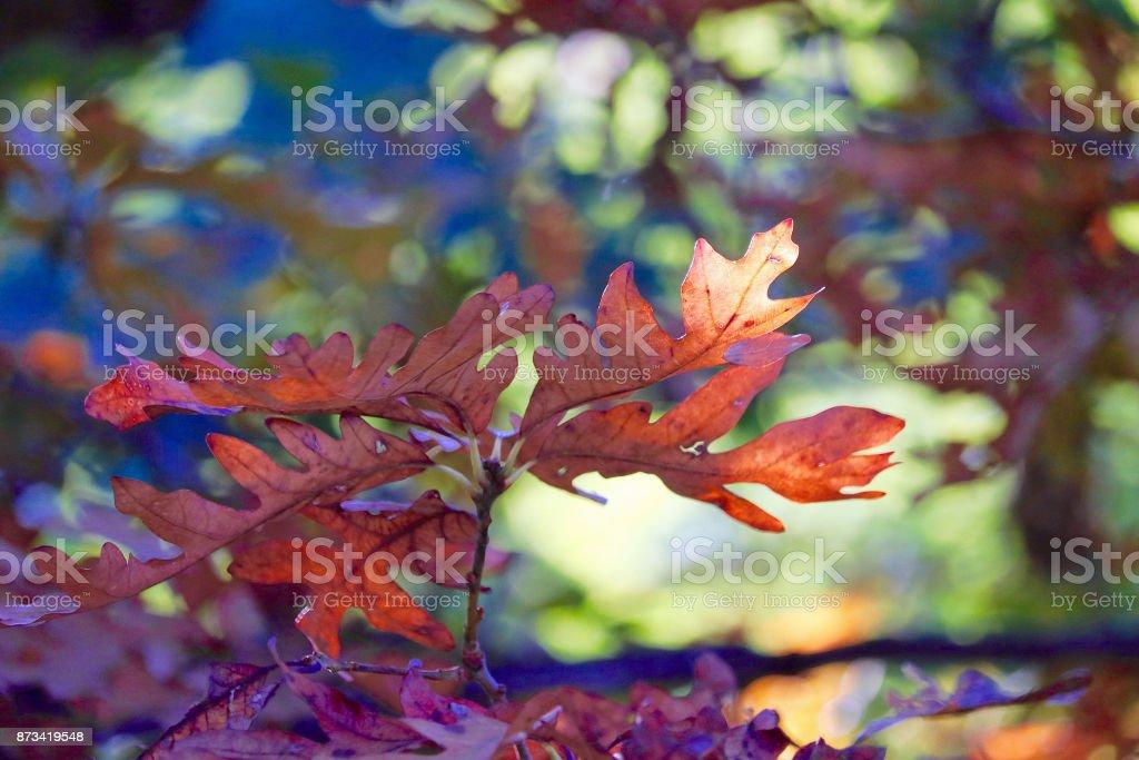 Autumn Oak Leaves stock photo