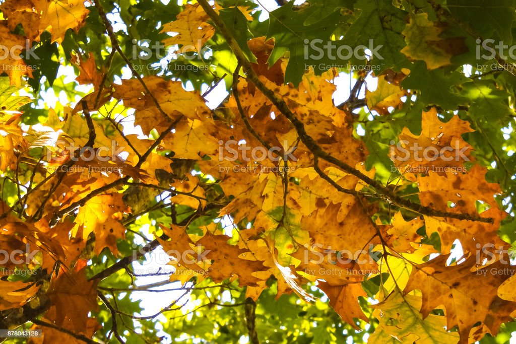 Autumn Oak Leaves stock photo