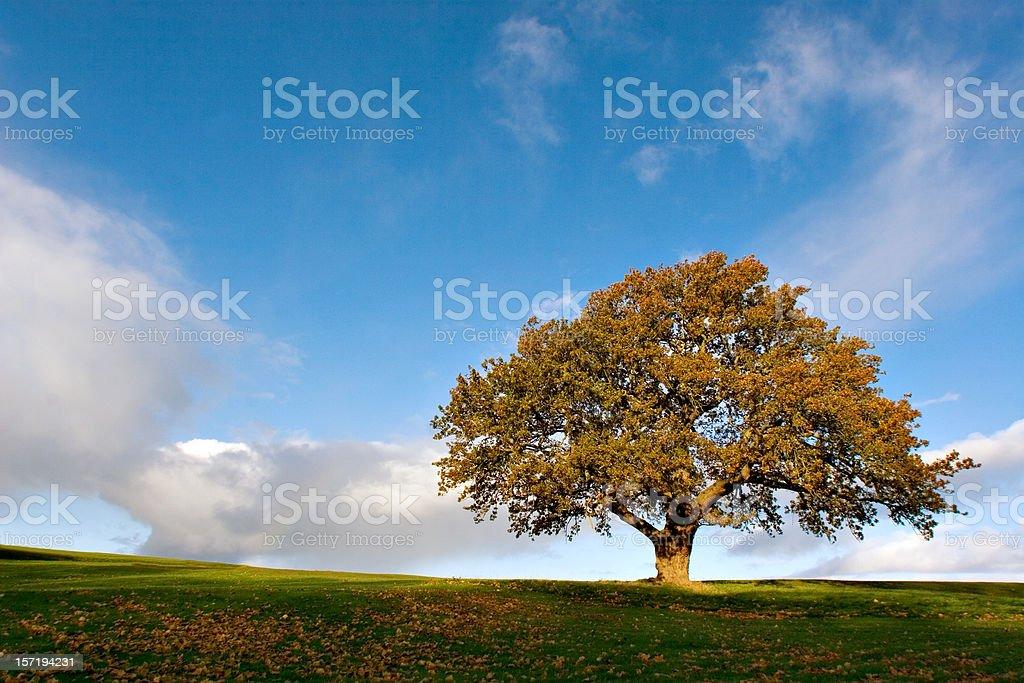 Autumn Oak royalty-free stock photo