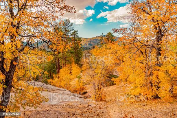 Photo of Autumn Oak trees cover the hillsides of the San Bernardino Mountains in Big Bear Lake, California