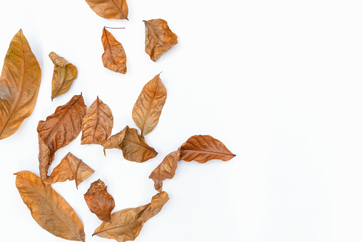 Autumn of brown dry leaf on white background.