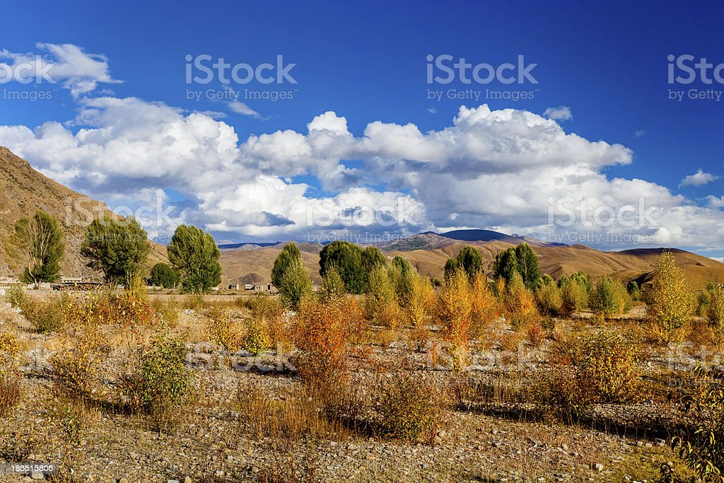 autumn of poplar royalty-free stock photo