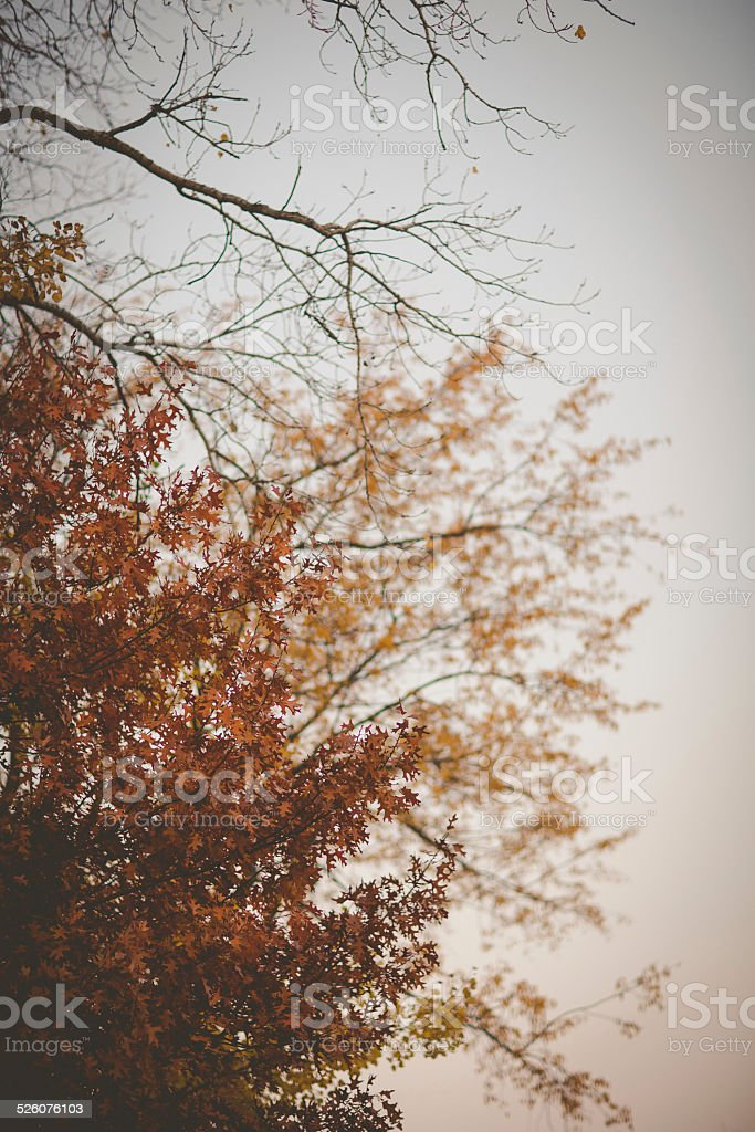 Autumn or Late Fall Oak Tree stock photo