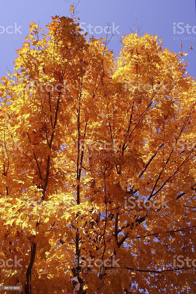 Autumn - orange foliage, blue sky royalty-free stock photo