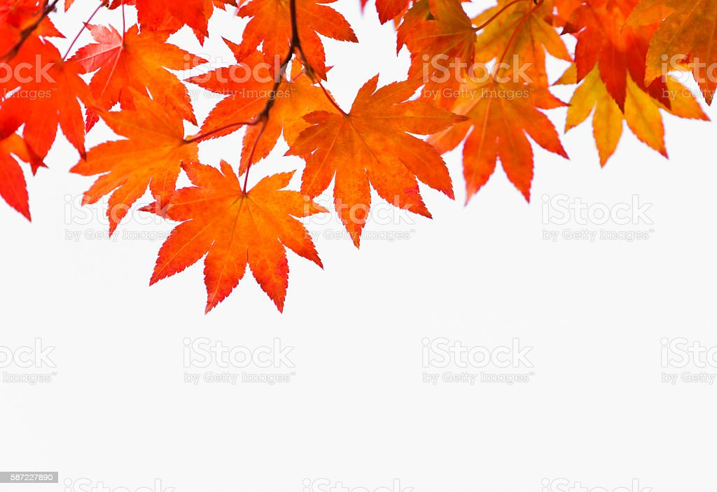 Autumn Orange Leaves on White - Photo