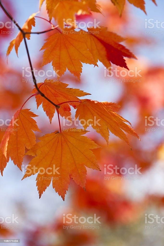 Autumn Orange Leaves royalty-free stock photo