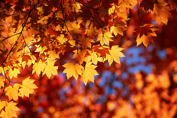Autumn Orange Leaves  autumn leaf color stock pictures, royalty-free photos & images