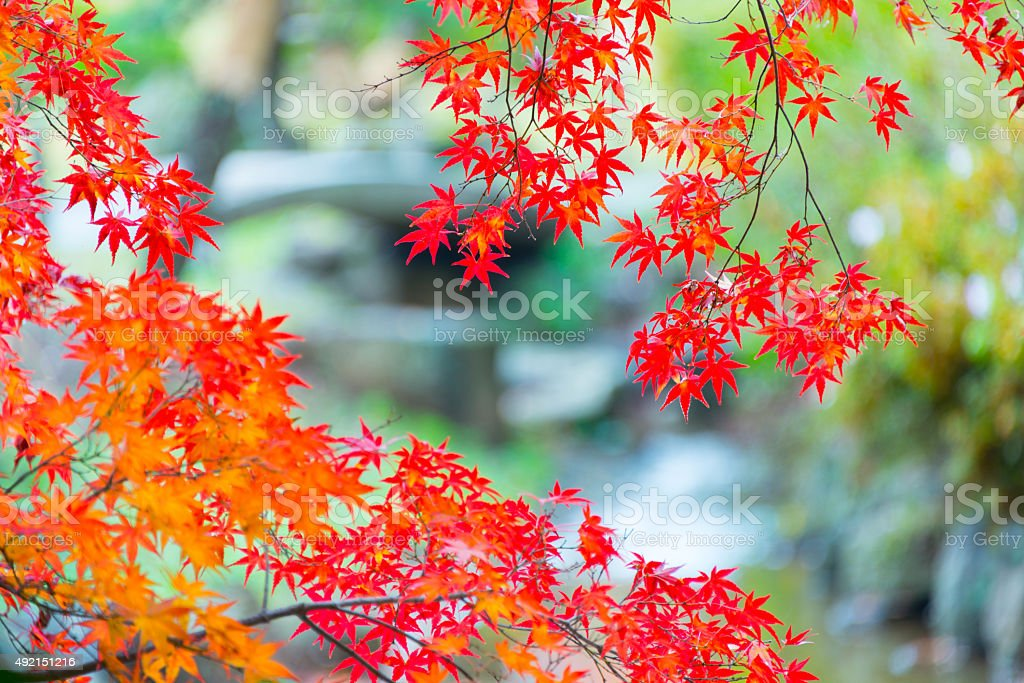Autumn Orange Leaves stock photo