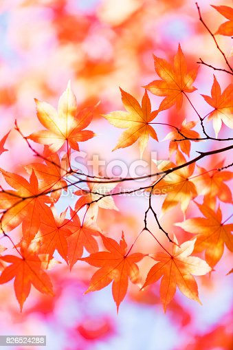 close up of autumn orange leaves with sunlight